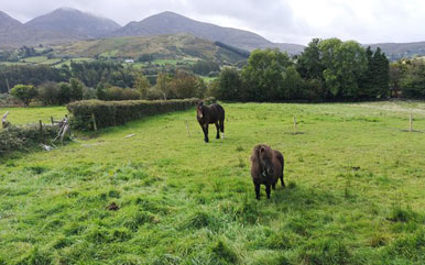 Horses in Field with mountain backdrop